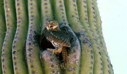 Groups threaten lawsuit over pygmy owl