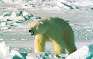 For Polar Bears, a climate change twist