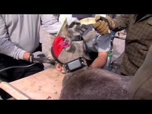 Video for Media: Bighorn Capture 11-19-2014 Canyon Lake