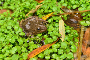 Native frogs reintroduced to their onetime habitat