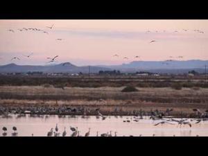 WATCH: Thousands of Sandhill cranes take flight