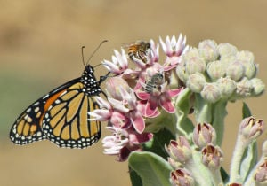 Tucson group pushes feds to protect monarch butterflies