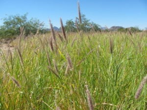 Now is perfect time to spray invasive buffelgrass