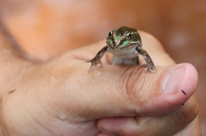 How to defend leopard frogs from big, bad bullfrogs