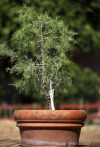 Bonsai method on native plants