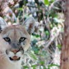 Patagonia-Sonoita Creek Preserve warns of mountain lion sightings