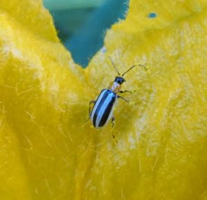 The Garden Sage tackles the striped cucumber beetle