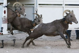 16 more bighorns released in Catalina Mountains