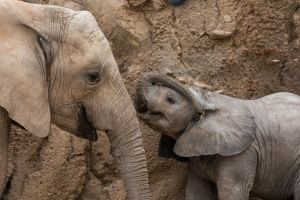 Nandi notebook: 4 months with Tucson's pretty pachyderm