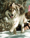 Wolf habitat may expand, but north of I-40