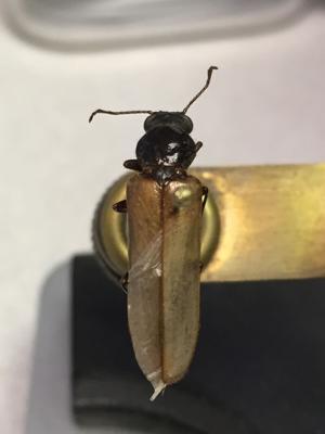 Garden Sage: Dead log bark beetles, cutter bees, black widows bug readers