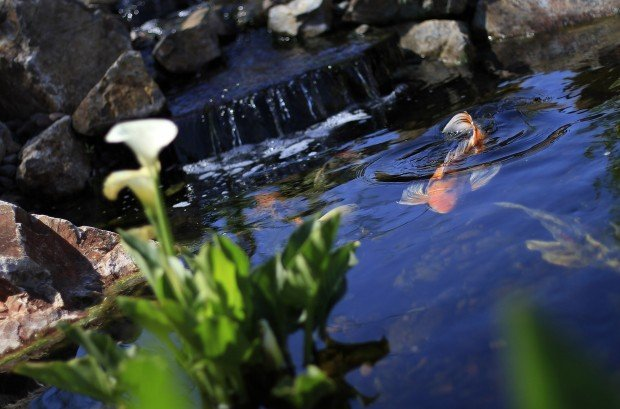 Koi ponds combine beauty calm tucson gardens for Koi pond water murky