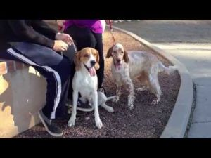 Meet Lenny, a treeing Walker coonhound