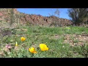 Poppies blooming at Saguaro Park