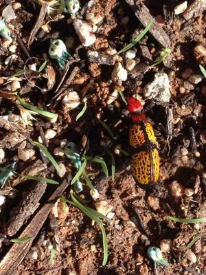 Don't sweat the termites but avoid blister beetles