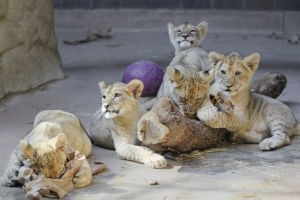 Photo of the day: Lion cubs