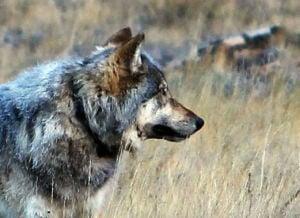 Wolf seen near North Rim feared killed in Utah