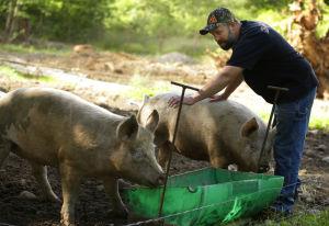 Venden carne de cerdo marihuano en Washington