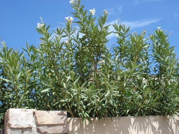 Backhoe needed to remove big oleanders