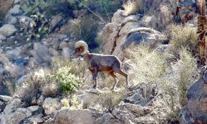 Another bighorn sheep dies in the Catalina Mountains