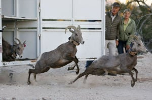14 bighorns released in Catalinas; 3 died during captures