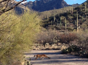 Mountain lion caught on video in Sabino Canyon