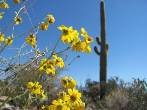 Brittlebush in brilliant bloom around Tucson