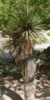 Garden Sage: Thompson Yucca