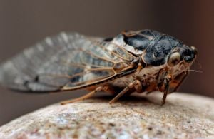 10 fascinating things about Tucson's cicadas