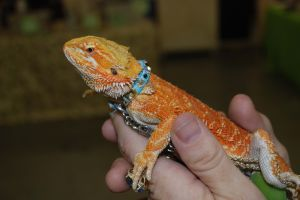 Reptile Man prepares for big show