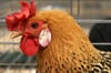 Audio slide show:  A fowl display at the fairgrounds