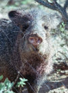 Fitz Blog Art: Javelina