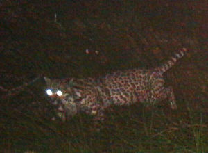 Ocelot photographed on mine site's doorstep