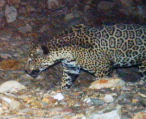 Agency: Mine would stress, but not kill, jaguar