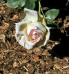 Mulched Peace rose