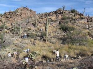 Volunteers needed to fight buffelgrass at Saguaro Park