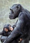 LA Zoo chimp habitat reopens after baby chimp killed