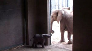 Tucson zoo elephant delivers calf