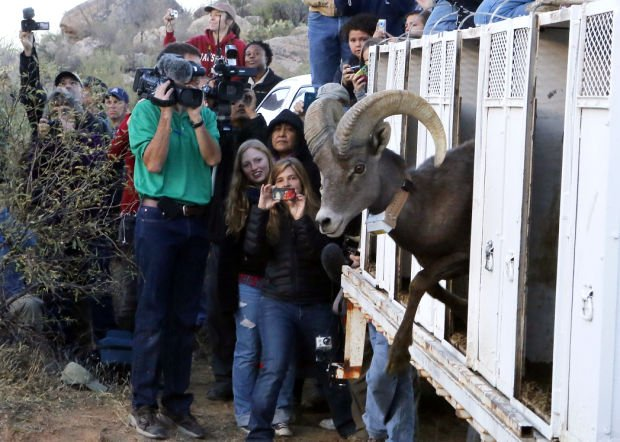 Photos: Bighorn sheep release