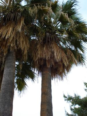 Can I Transplant Mexican Fan Palm Seedlings?