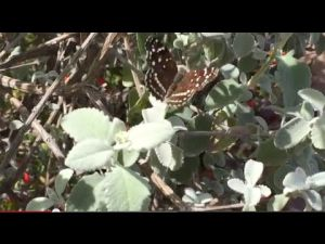Nature video: What's fluttering over Tucson?