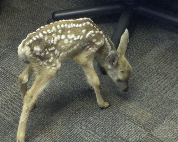 Northern idaho town mulls using deer birth control ap for Az game and fish phone number
