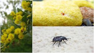 Garden Sage: Dog vomit slime; wild roaches; darkling beetles