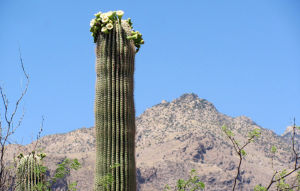 It's a tad early, but saguaros already are flowering locally