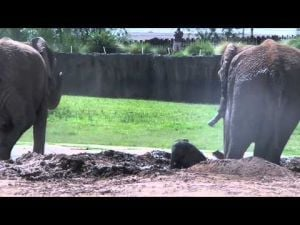 Watch: Zoo's baby elephant takes first mud bath