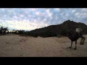 Video: Shy bighorns are released in Catalinas