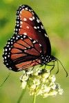 Critter of the Week: queen butterfly