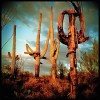 Capturing our stately saguaros