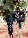 Autumn in Tucson: Willcox Wine Country Festival