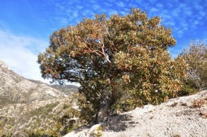 Tucsonan pens guide to mountain trees of Southern Arizona